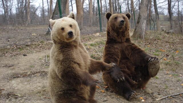 Alti trei ursi au luat drumul padurilor din Muntii Fagaras