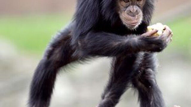 Maimuta agresiva! A atacat o femeie, care e in stare grava