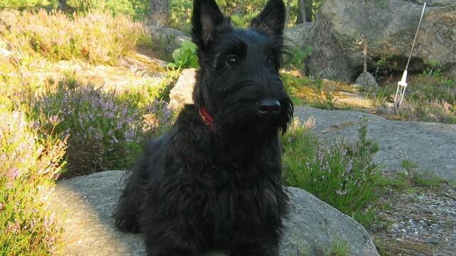 Terrier scotian