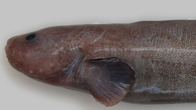 noi specii de pesti, Noua Zeelanda 4