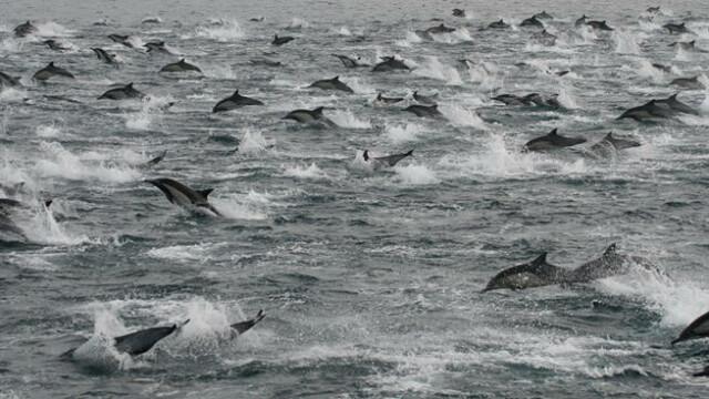 VIDEO. Misterul celor peste 100.000 de delfini filmati in largul coastei, la San Diego