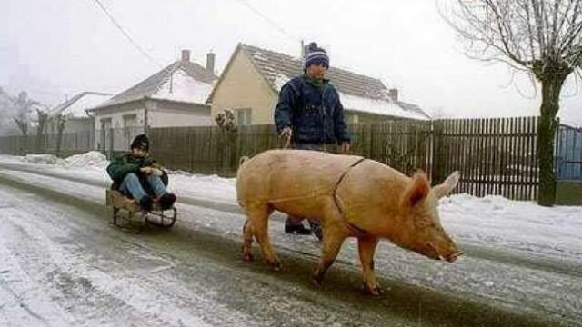 Imaginea zilei pe internet in Romania. Pustiul din Botosani care e tras pe sanie de un porc