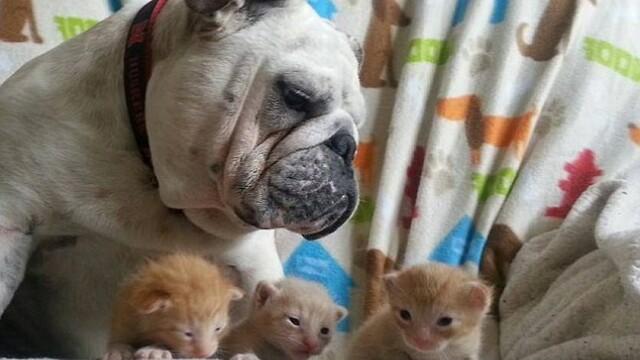 Bulldog si pisici
