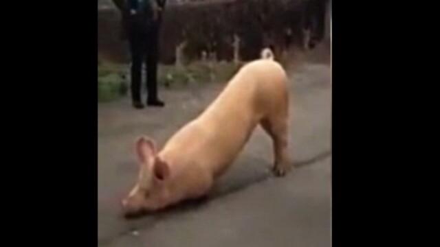 Imagini virale pe internet. Un porc a fost filmat in timp ce se \