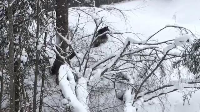 O ursoaică şi puiul ei, filmaţi de câţiva schiori pe pârtia din Predeal