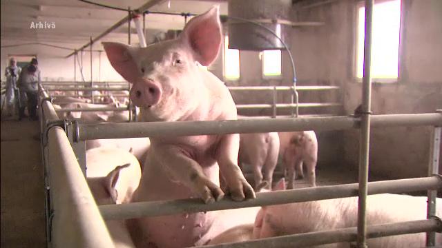 Covasna, pe harta zonelor afectate de pesta porcină