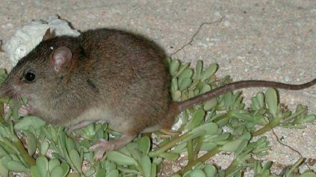 Primul mamifer dispărut din cauza schimbărilor climatice