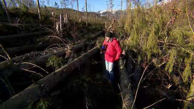 """Imagini cu pădurea de lângă Cheia, pusă la pământ de vânt. """"Locul unui dezastru natural"""""""