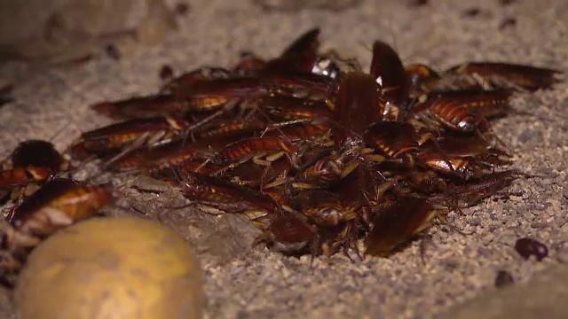 La două grădini zoologice din Texas, vizitatorii pot boteza gândacii cu numele foștilor parteneri de viață
