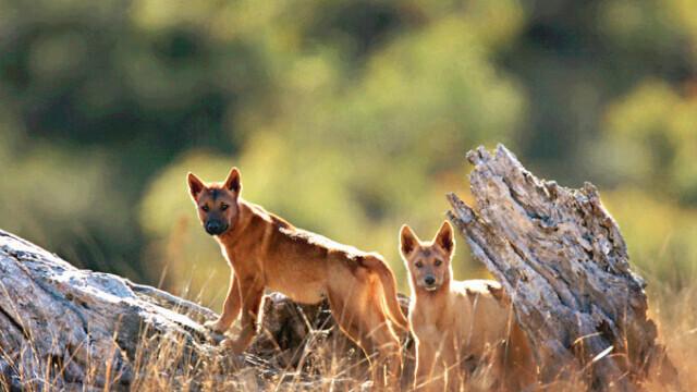Studiu: Primii oameni care au păşit pe continentul nord-american au fost însoțiți de câini
