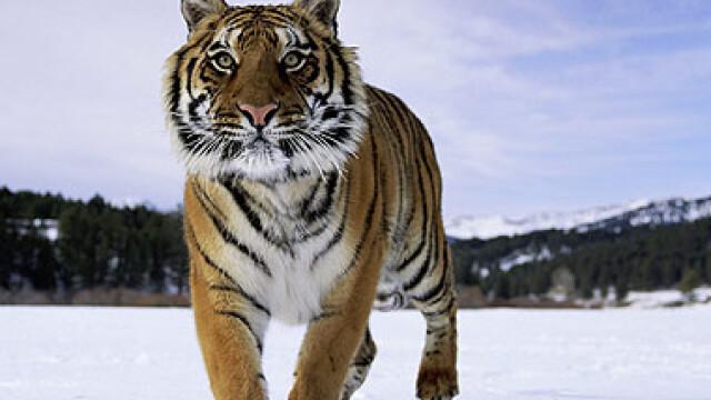 tigrii