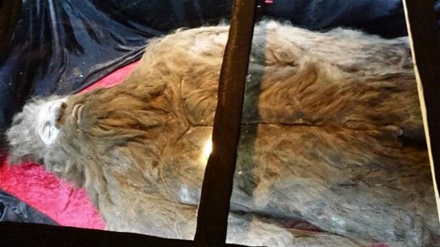Bigfoot sau un costum de cauciuc? Un barbat incearca sa dovedeasca ca a ucis creatura legendara cu noi fotografii - Imaginea 1