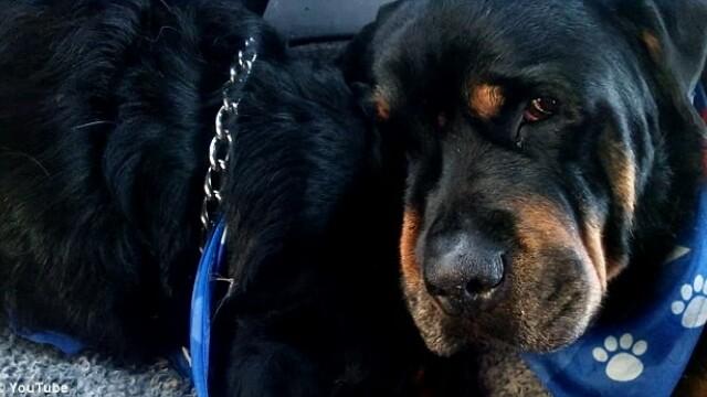 Imagini tulburatoare cu un caine rottweiler care isi plange fratele mort. VIDEO - Imaginea 2