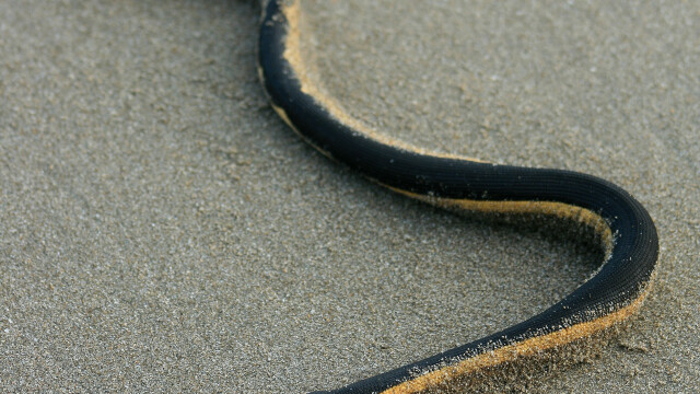 Plajele din Australia au fost invadate de serpi veninosi. Explicatia pentru acest fenomen