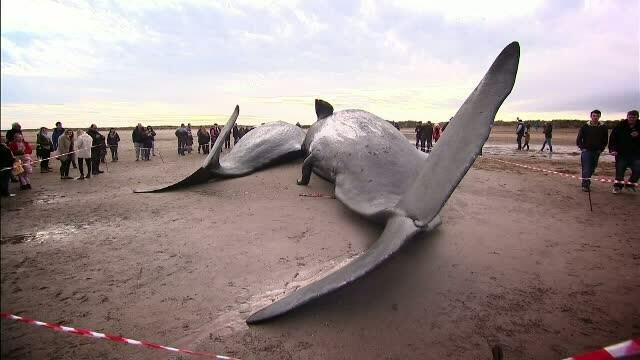 Patru balene, gasite pe o plaja din Marea Britanie. Expertii spun ca un astfel de incident nu s-a intamplat de zeci de ani