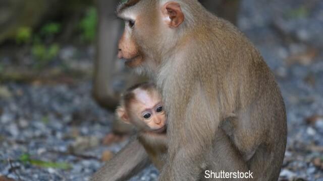 O maimuta a \