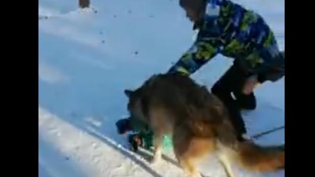 copil atacat de lup