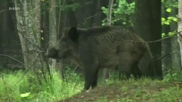 Un nou focar de pestă porcină în România. Mistreții vor fi vânați