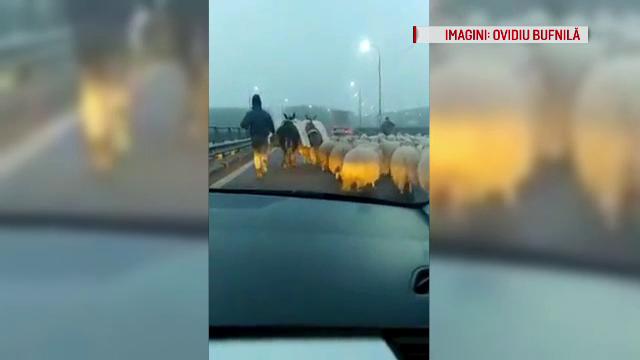 Replica unui cioban certat de șoferi că a intrat cu oile pe autostradă: \