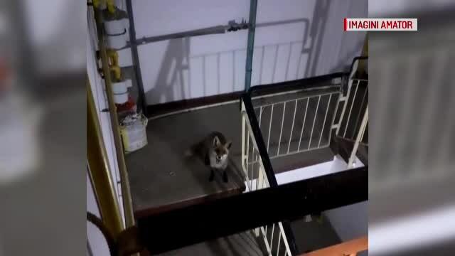 O vulpe s-a furișat în scara unui bloc din Buzău. Ar fi coborât din pădure