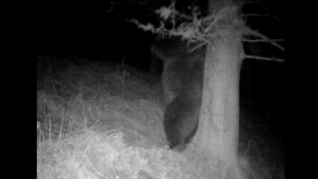"""Imagini amuzante cu un urs, surprinse în Parcul Național Retezat. """"Mâncărimea, bat-o vina!"""""""