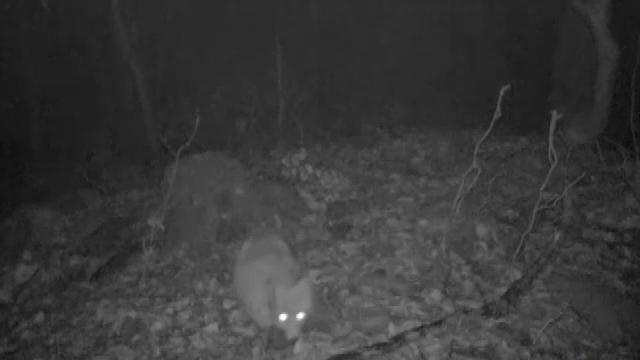 Biologii au pus o cameră în Parcul Național Defileul Jiului. Nu le-a venit să creadă ce animal au surprins