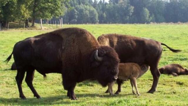 bizoni