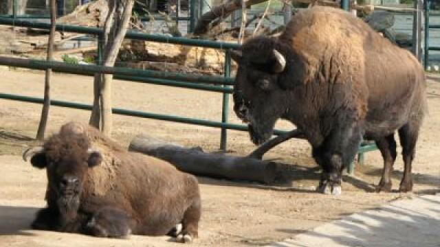 Turisti inconstienti atacati de bizon! Vezi si alte cazuri!