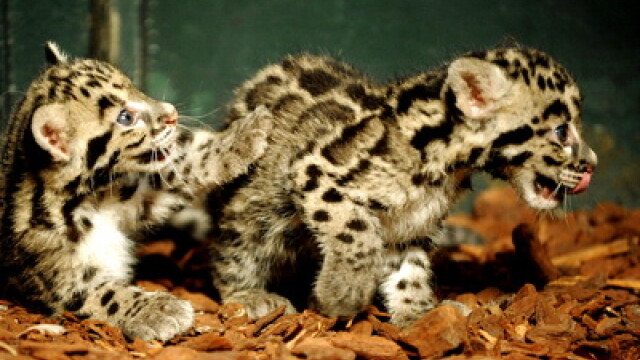 Leopard patat