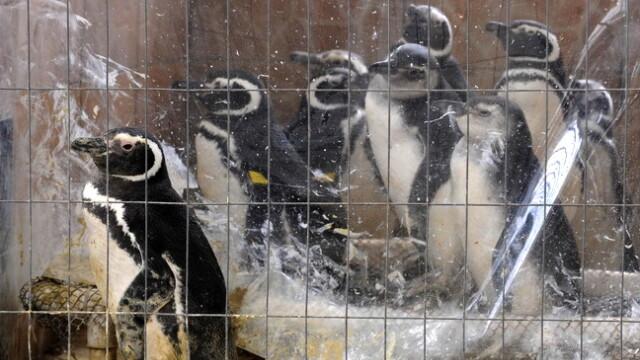 Dezastru in Atlantic: sute de pinguini acoperiti de petrol, morti - Imaginea 1