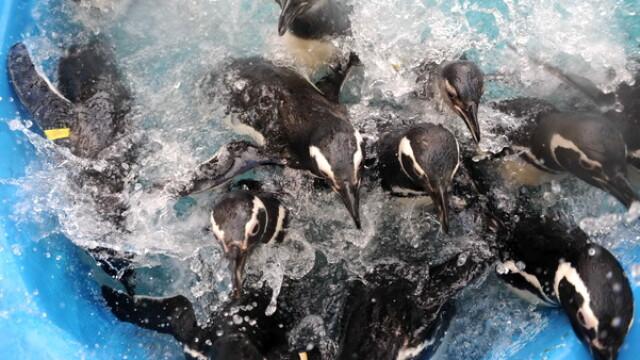 Dezastru in Atlantic: sute de pinguini acoperiti de petrol, morti - Imaginea 2