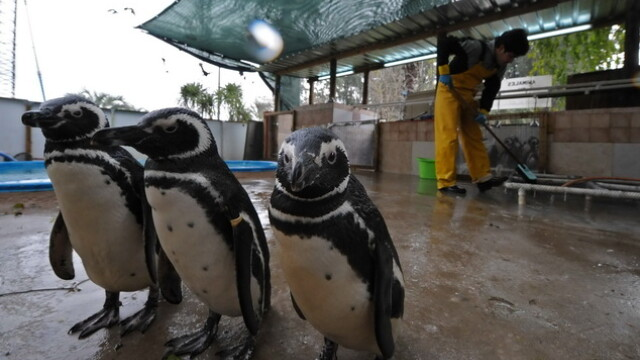 Dezastru in Atlantic: sute de pinguini acoperiti de petrol, morti - Imaginea 4