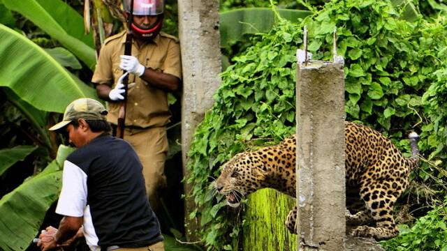 FOTO. Momentul in care un leopard ataca un om. Animalul a mutilat in total 6 persoane - Imaginea 2