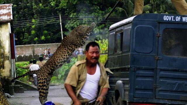 FOTO. Momentul in care un leopard ataca un om. Animalul a mutilat in total 6 persoane - Imaginea 3