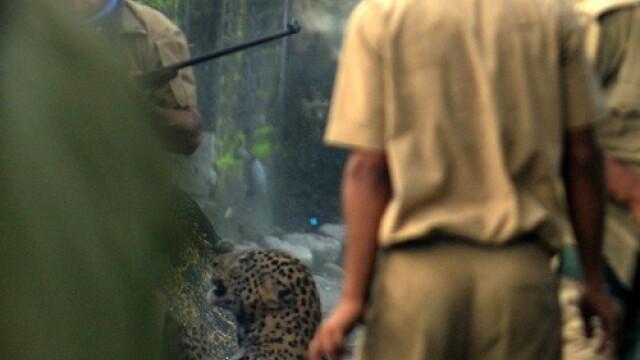 FOTO. Momentul in care un leopard ataca un om. Animalul a mutilat in total 6 persoane - Imaginea 4