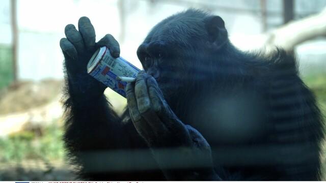 cimpanzeu - 2