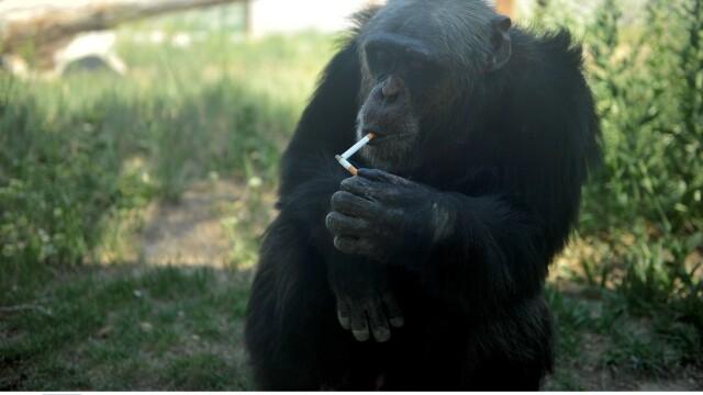cimpanzeu - 3