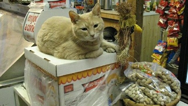 O pisica este de 15 ani PRIMARUL unui oras din Statele Unite. Viata Domnului Stubbs