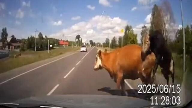 Momente de groaza pentru un sofer din Rusia. Ce i-a aparut brusc in fata masinii. VIDEO - Imaginea 2