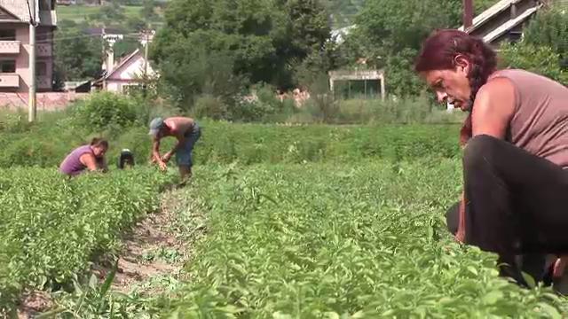 Romanii care vor sa faca prima fabrica de extractie pentru stevie din tara: care sunt avantajele ei