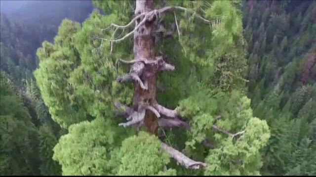 Arborele clonat care traieste 3.000 de ani si ar putea pune capat incalzirii globale. Un ONG il plateaza prin toata lumea