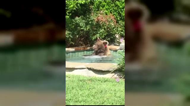 Un urs s-a răcorit în piscina unui localnic din California. Cum a fost filmat