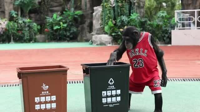 cimpanzeul Bobo