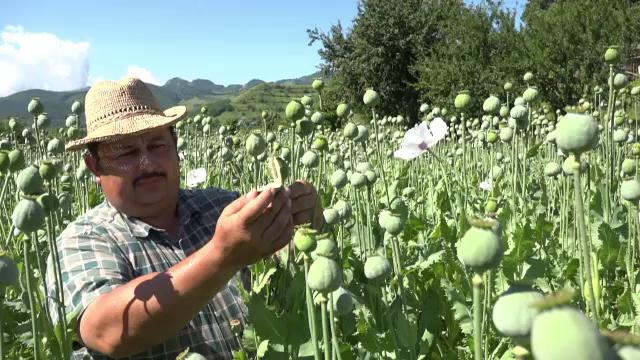 Românii care produc legal opiu, la poalele Munţilor Trascău. Preţul cu care îl vând