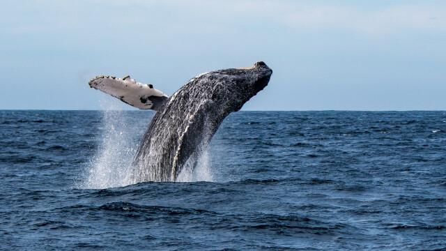 Momentul în care un leu de mare este surprins în gura larg deschisă a unei balene