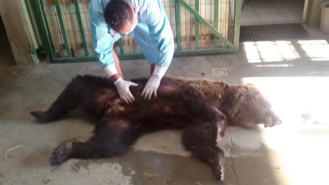 Ursoaică găsită rănită pe marginea șoselei, la Cheia. Ar fi fost lovită de mașină