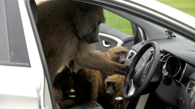 Babuinii dintr-un parc safari din Anglia au fost văzuți înarmați cu șurubelnițe, cuțite și chiar un ferăstrău - Imaginea 1