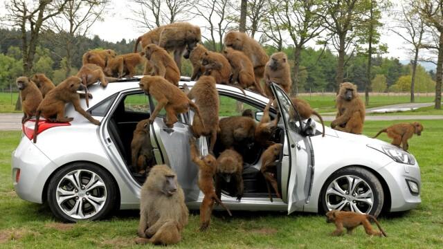 Babuinii dintr-un parc safari din Anglia au fost văzuți înarmați cu șurubelnițe, cuțite și chiar un ferăstrău - Imaginea 2