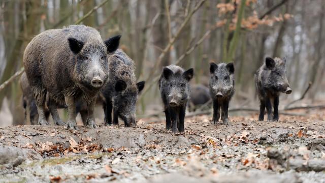 Focar de pestă porcină africană într-un județ din România. Lista localităților afectate