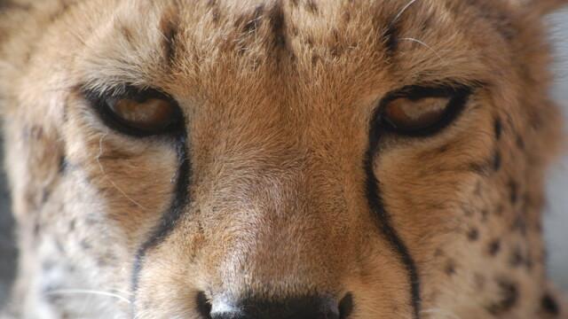 Zoo din Sankt Petersburg are noi locatari: trei pui de jaguar